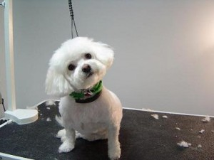 Dog Groomer - Lilly - After