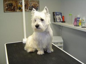 Dog Groomers - Chaz - Before