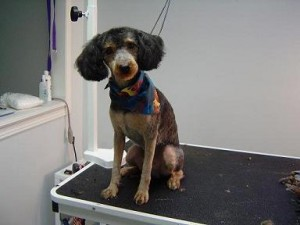 Dog Groomers - Cooper - After