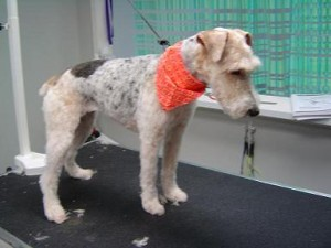 Dog Groomers - Maggie May - After