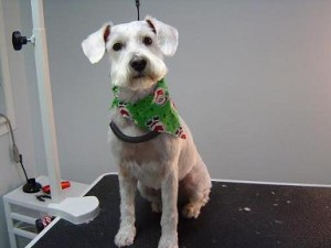Dog Groomers - Winston - After