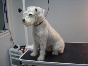 Dog Groomers - Winston - Before