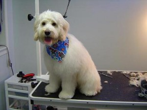 Dog Grooming - Finnigan - After