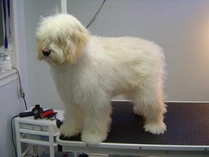 Dog Grooming - Finnigan - Before