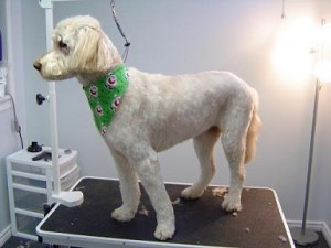 Dog Grooming - Jazz - After