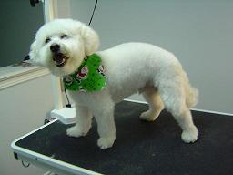 Dog Groomers Barrie, Ontario - Lucky - Bichon