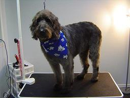 Dog Groomer Barrie, Ontario - Mr. Muggs - Labradoodle