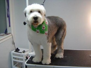 Paw Tyme Dog Grooming & Spa - Jessie - After