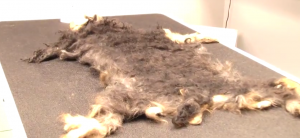 A Mat from a Yorkshire Terrier x Toy Poodle